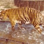 London Zoo - Tiger