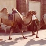 London Zoo - Camel