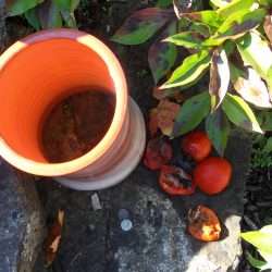 Planter with rotting tomatoes