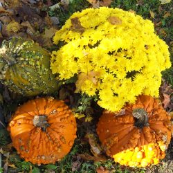 Green and orange pumpkins and yellow chrysanthemum